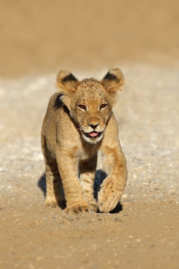Funcionamiento africano del cachorro de león - Suráfrica fotos de archivo