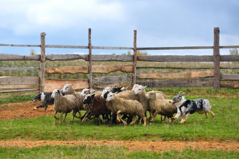 Funcionamiento australiano del pastor foto de archivo