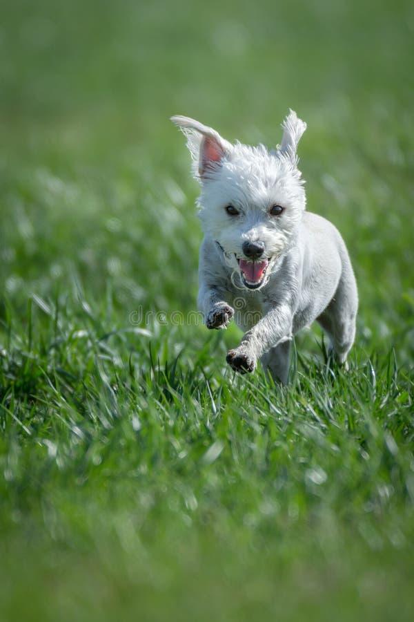 Funcionamiento blanco del perro foto de archivo libre de regalías