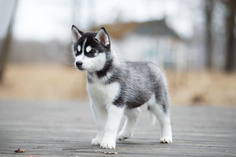 Funcionamiento blanco y negro del husky siberiano lindo del perrito en la tierra foto de archivo libre de regalías