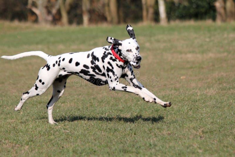 Funcionamiento dálmata del perro imagen de archivo libre de regalías
