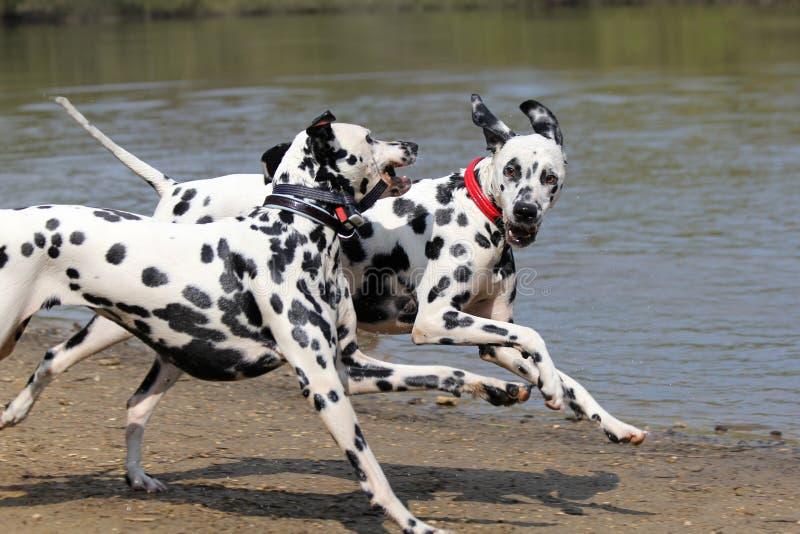 Funcionamiento de dos Dalmatians imagen de archivo