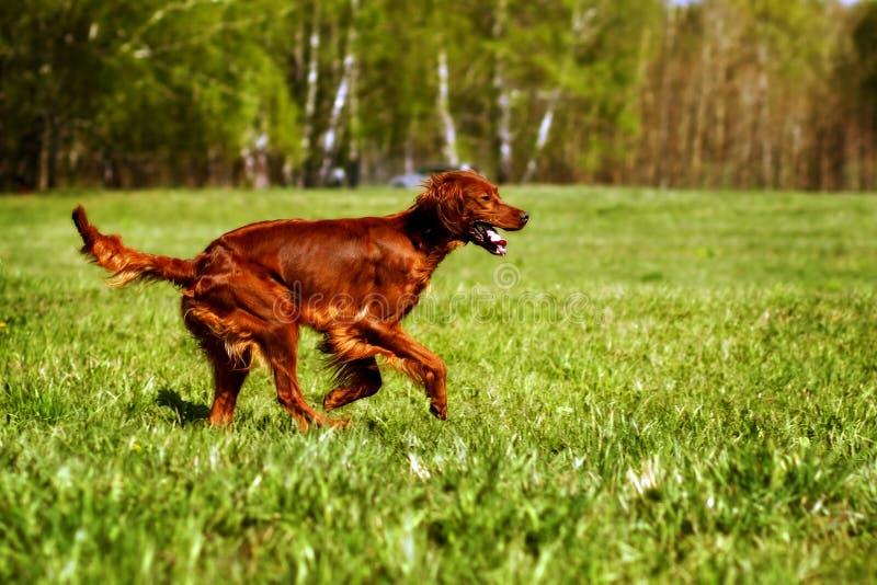 Funcionamiento de Irish Setter del perro fotos de archivo