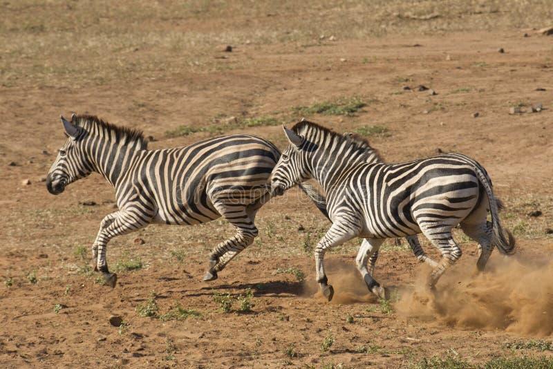Funcionamiento de la cebra de Burchell, Suráfrica foto de archivo libre de regalías
