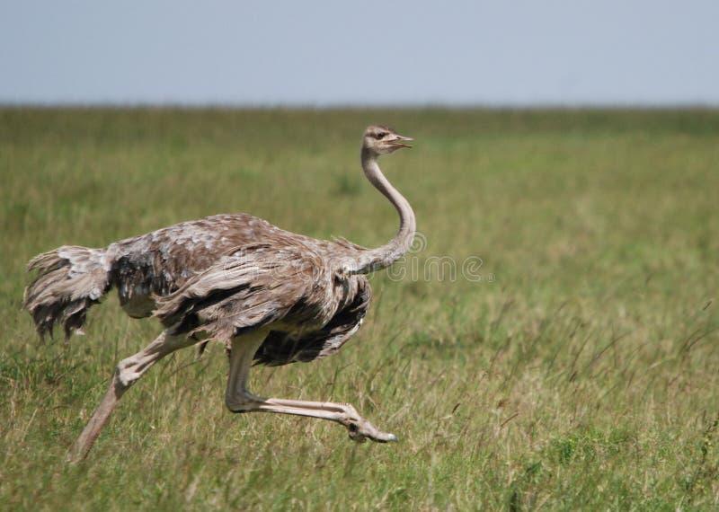 Funcionamiento de la hembra de la avestruz imágenes de archivo libres de regalías