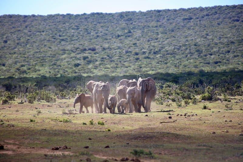 Funcionamiento de la manada del elefante africano fotografía de archivo