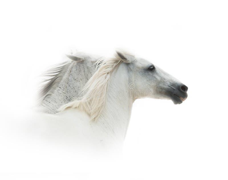 Funcionamiento de los caballos blancos fotografía de archivo libre de regalías