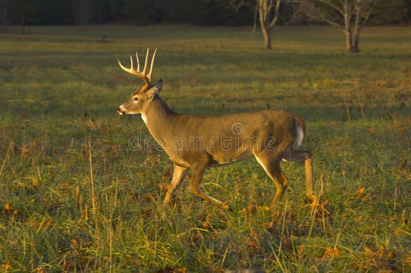 Funcionamiento de los ciervos de Whitetail imágenes de archivo libres de regalías