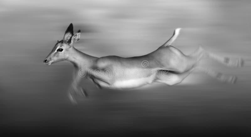Funcionamiento del impala imagen de archivo libre de regalías