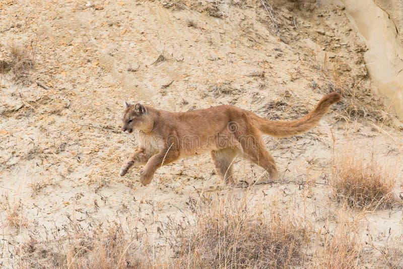 Funcionamiento del león de montaña fotos de archivo libres de regalías
