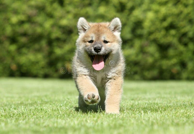 Funcionamiento del perrito del inu de Shiba imágenes de archivo libres de regalías