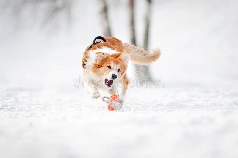 Funcionamiento del perro del border collie para coger un juguete en invierno foto de archivo