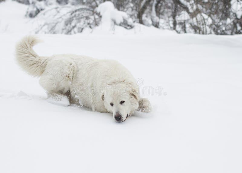 Funcionamiento del perro a través de la nieve profunda en bosque imagenes de archivo