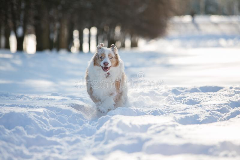 Funcionamiento del perro a través de la nieve profunda en el parque para un paseo imagenes de archivo