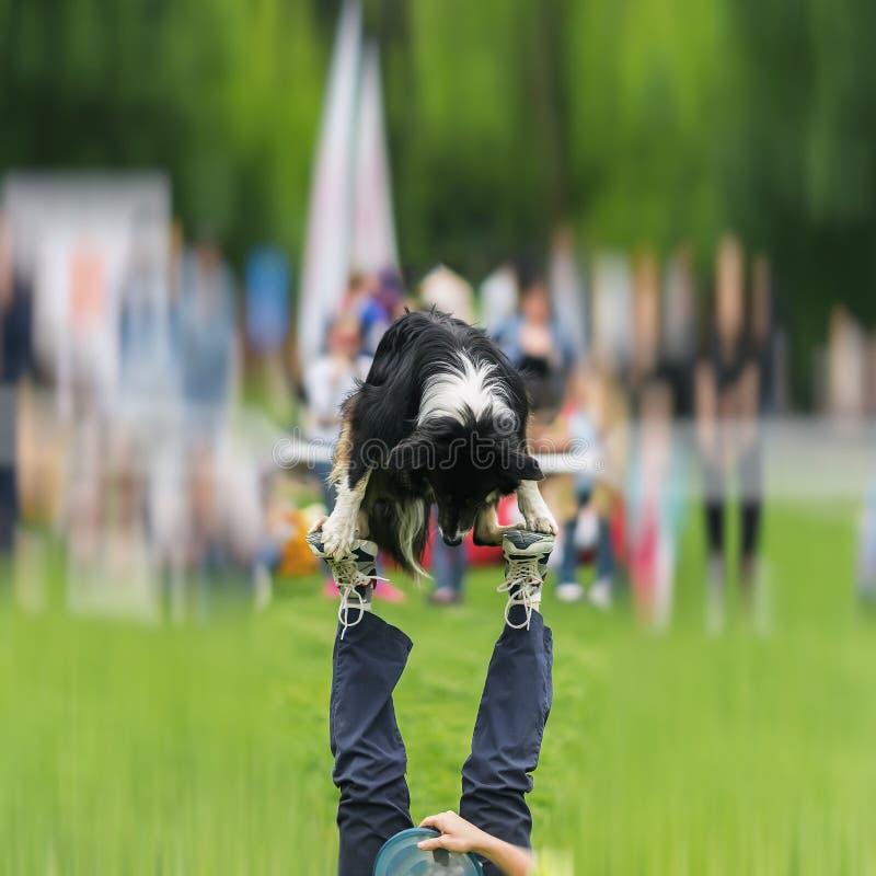 Funcionamiento divertido del perro nacional capaz con su amo en perro fotos de archivo