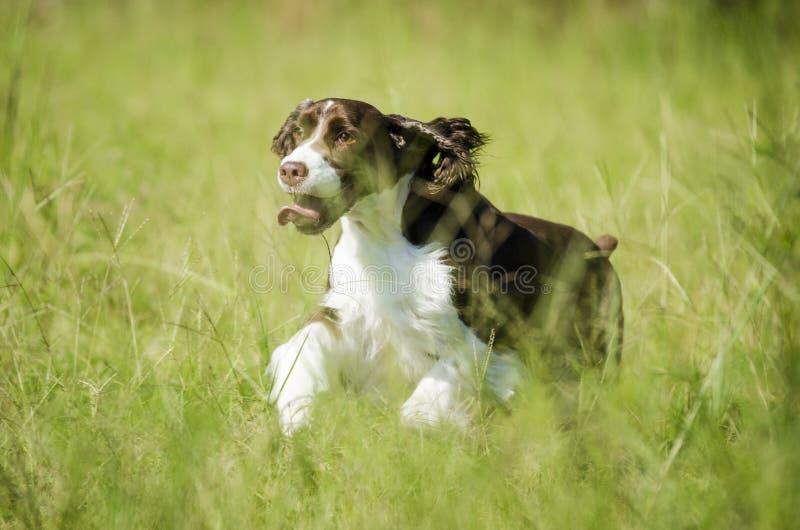 Funcionamiento feliz del perro fotografía de archivo