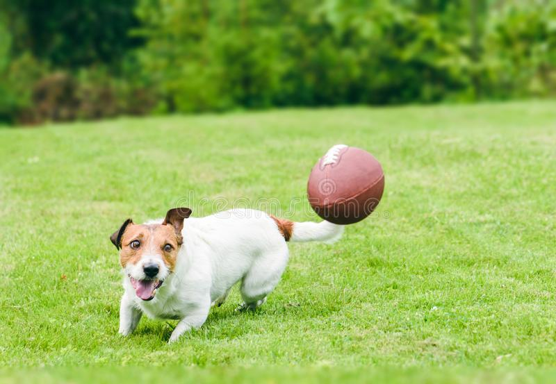 Funcionamiento graciosamente del perro para coger la bola del fútbol americano en el césped de la hierba verde del patio trasero imagenes de archivo