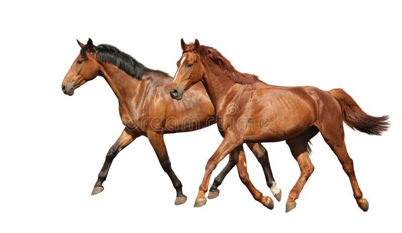 Funcionamiento hermoso de dos caballos aislado en blanco foto de archivo