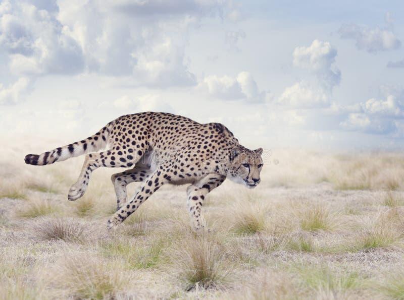 Funcionamiento joven del guepardo foto de archivo