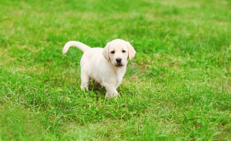 Funcionamiento lindo del labrador retriever del perrito del perro imagen de archivo