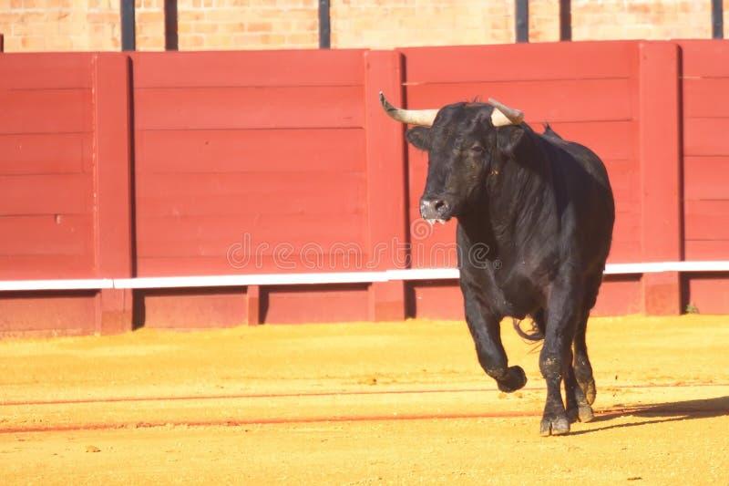 Funcionamiento negro del toro imágenes de archivo libres de regalías