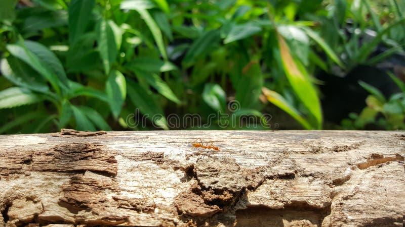 Funcionamiento y trabajo de la hormiga sobre el puente de madera viejo con luz del sol, na verde fotografía de archivo