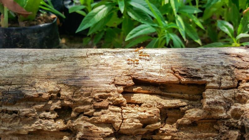 Funcionamiento y trabajo de la hormiga sobre el puente de madera viejo con luz del sol, na verde foto de archivo libre de regalías