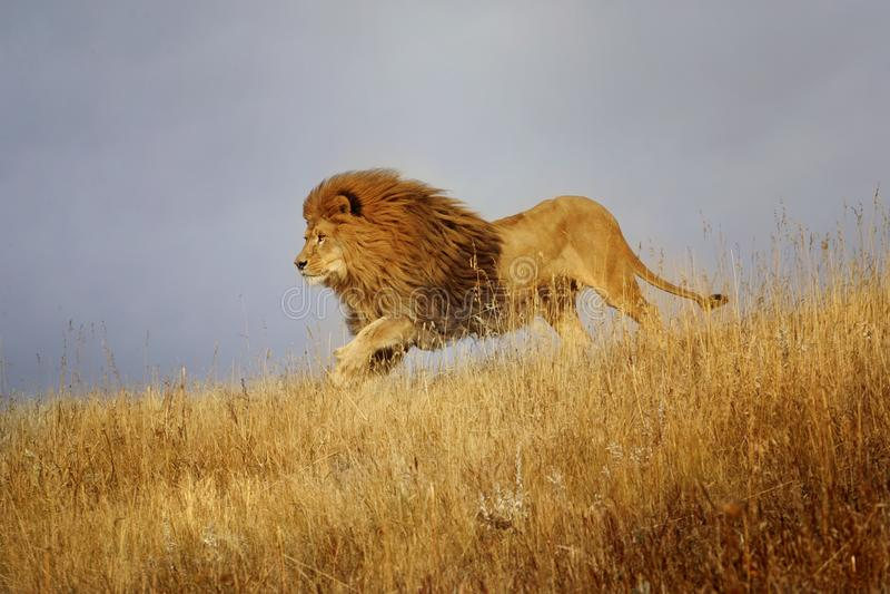 Funcionamientos africanos de un león a través de la hierba fotografía de archivo
