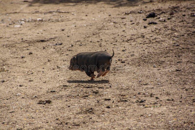 Funcionamientos de un pequeños cerdo lejos fotos de archivo