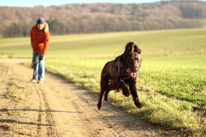 Funcionamientos del perro perdiguero del perro de Brown a lo largo de un campo foto de archivo