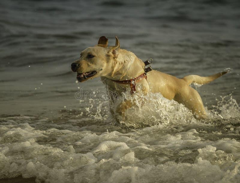 Funcionamientos emocionados de un perro de Labrador fuera del océano en la playa de Sampieri, en Sicilia, Sicilia fotos de archivo libres de regalías