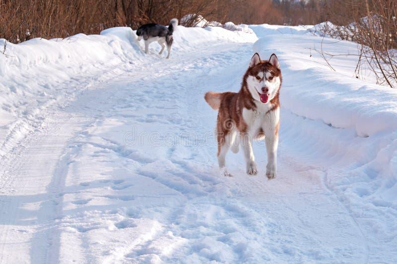 Funcionamientos fornidos del perro de Brown El jugar del husky siberiano del pelirrojo foto de archivo libre de regalías