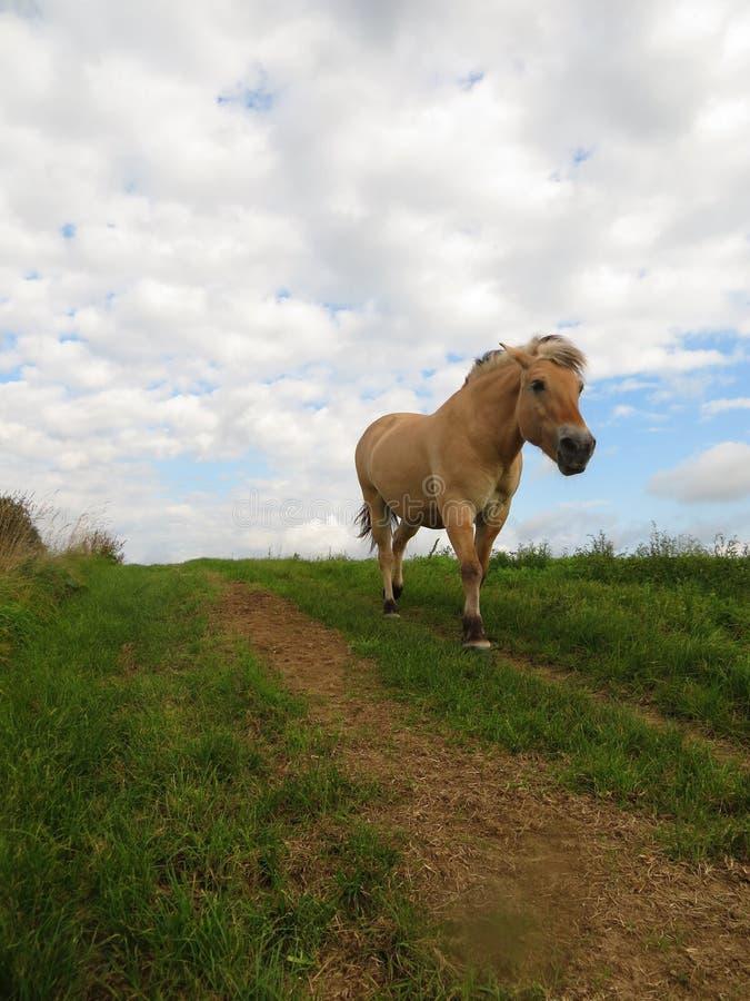Funcionamientos noruegos del caballo en un camino de tierra imagen de archivo