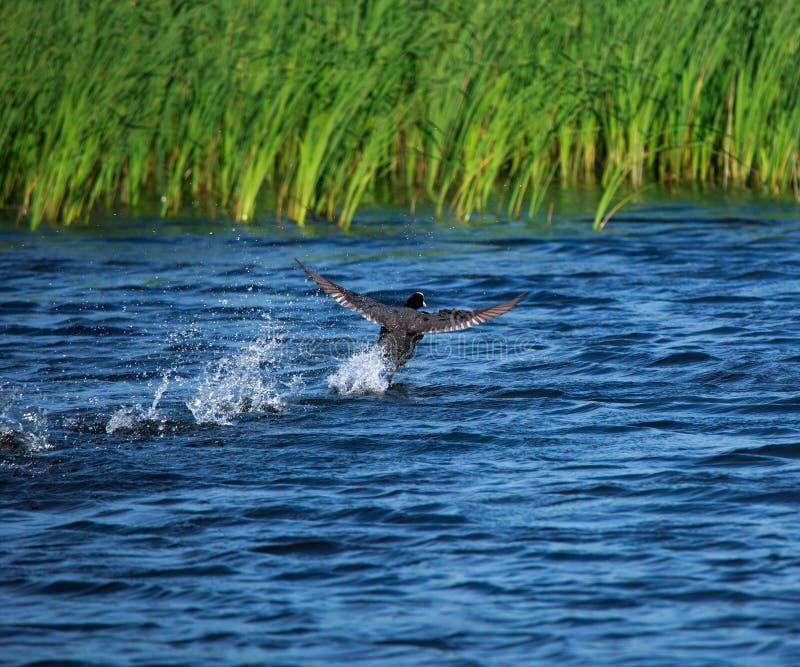 Funcionando con lejos el pájaro duck en la superficie del agua fotografía de archivo