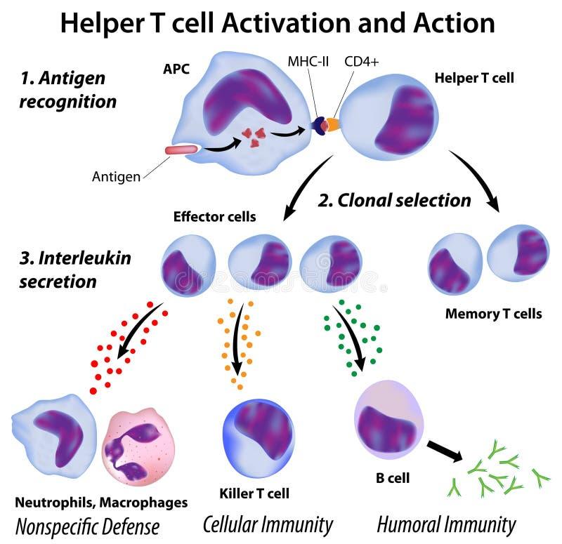 Functie van de helpercellen van T royalty-vrije illustratie