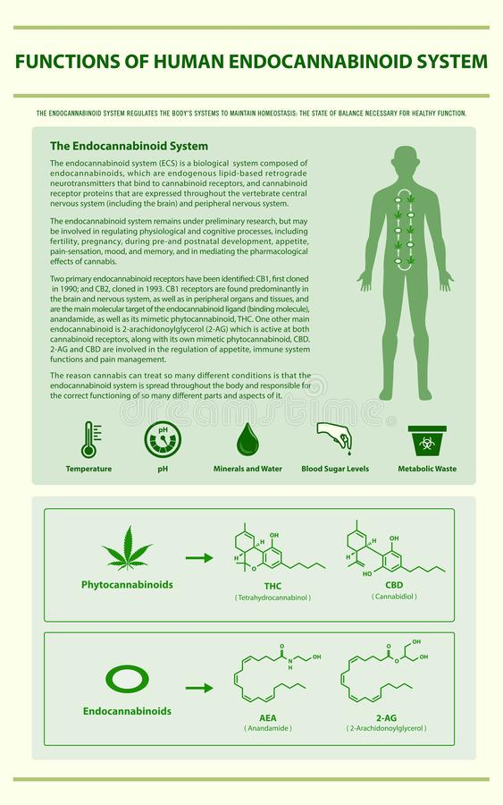 Functions of Human Endocannabinoid System vertical infographic. Illustration about cannabis as herbal alternative medicine and chemical therapy, healthcare and royalty free illustration