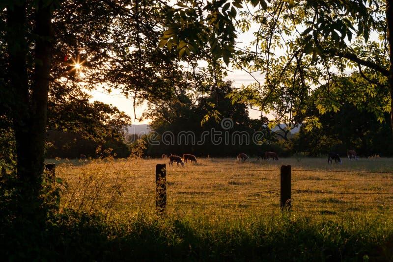 Fundamentale englische Szene, der Abend eines warmen Sommers mit den Kühen, die auf den Gebieten weiden lassen lizenzfreie stockfotos