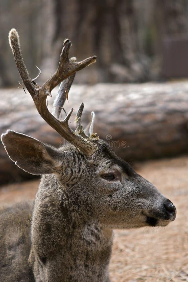 Fundamento do fanfarrão dos cervos de mula fotografia de stock royalty free