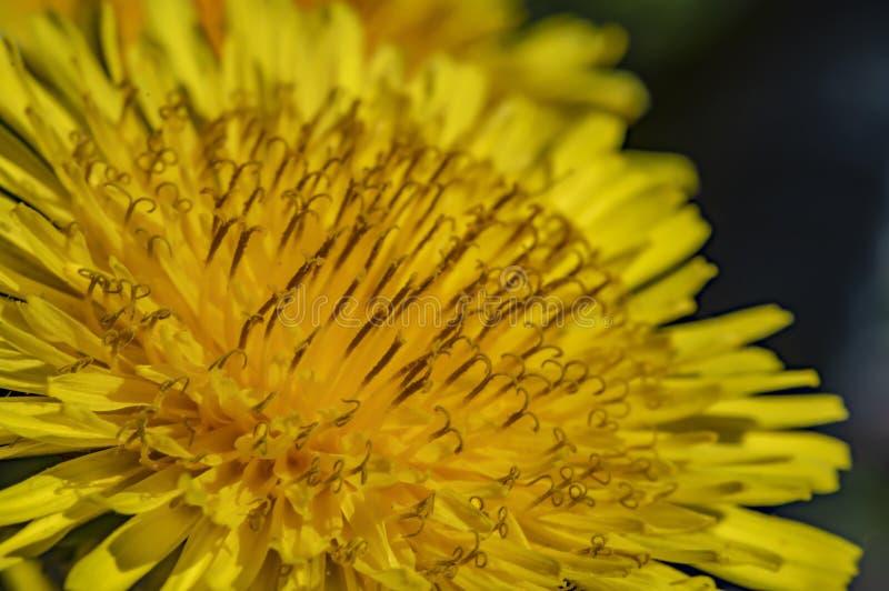 Fundo abstrato brilhante - foto macro de uma flor do dente-de-leão Foco seletivo imagens de stock royalty free