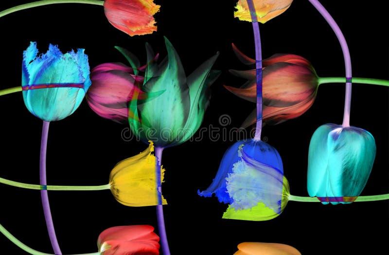 Fundo abstrato da flor. Tulipas fotos de stock