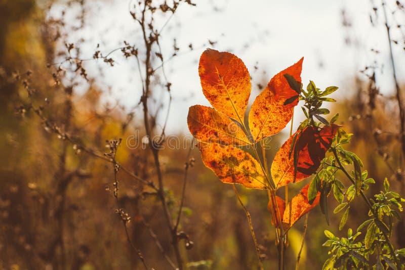 Fundo abstrato da folha, ramo de árvore bonito na floresta outonal, luz morna brilhante do sol, folhas de bordo secas alaranjadas imagem de stock royalty free