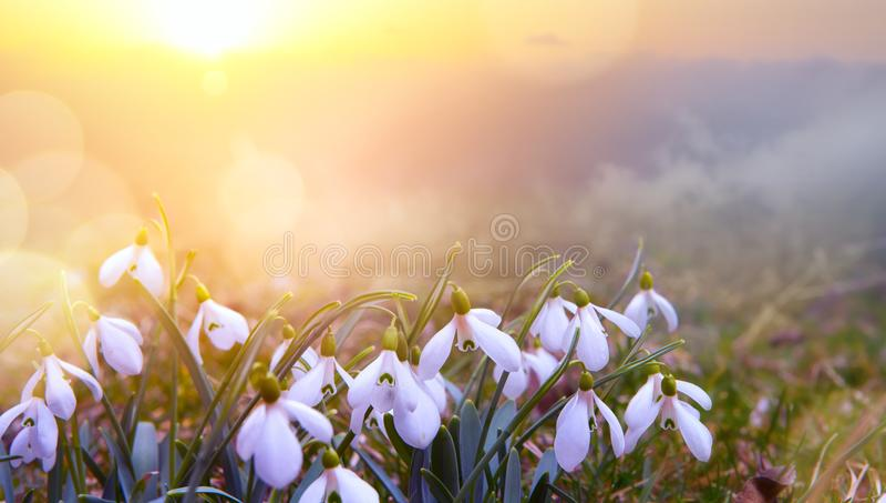 Fundo abstrato da mola da natureza; Flor da mola de Snowdrop fotografia de stock royalty free