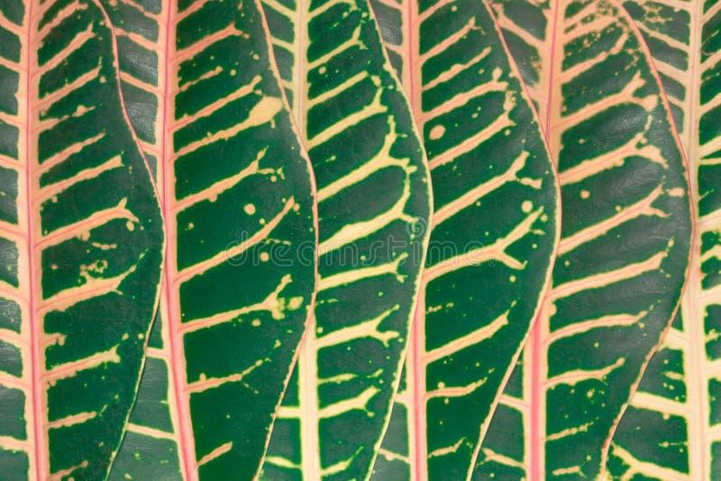 Fundo abstrato das folhas tropicais grandes encontradas consistentemente foto de stock