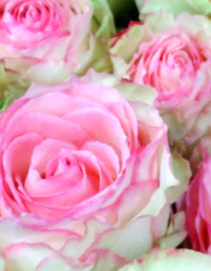 Fundo abstrato distorcido da flor dos botões cor-de-rosa cor-de-rosa fotos de stock royalty free