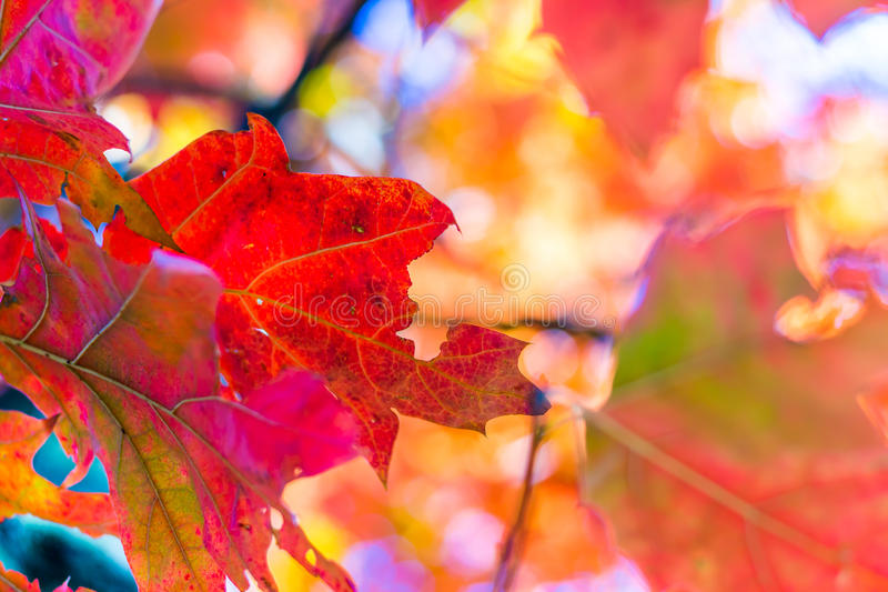 Fundo abstrato do outono, folhas alaranjadas velhas, folha seca da árvore, foco macio, estação outonal, mudança da natureza, luz  imagem de stock royalty free