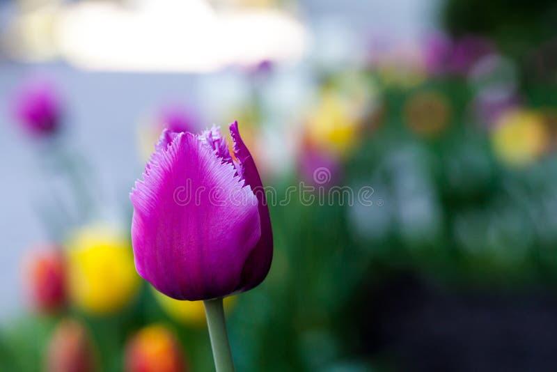 Fundo abstrato horizontal Tulipas roxas bonitas do close up Flowerbackground, gardenflowers Flores do jardim fotografia de stock
