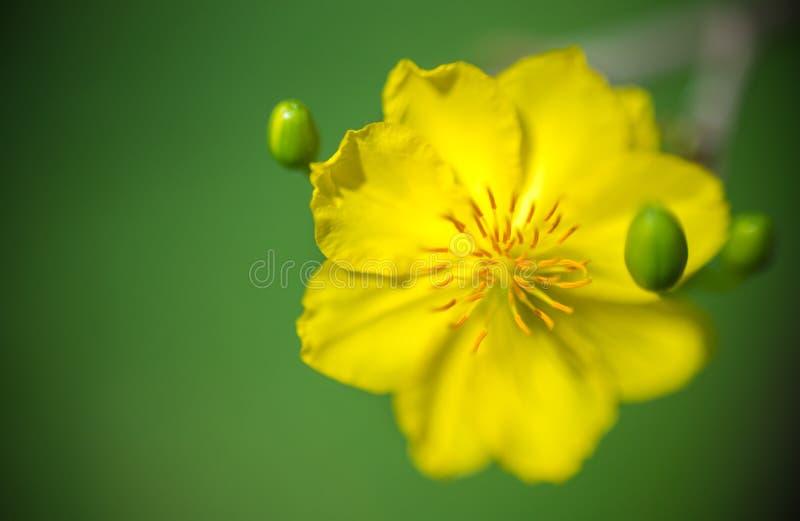 Fundo abstrato - o close up do abricó amarelo floresce a flor no dia de ano novo imagens de stock royalty free