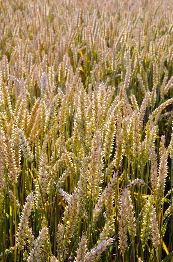 Fundo agricultural do close up maduro do campo de trigo imagem de stock royalty free