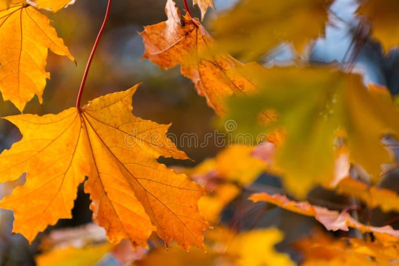 Fundo alaranjado amarelo vermelho bonito das folhas de outono imagens de stock