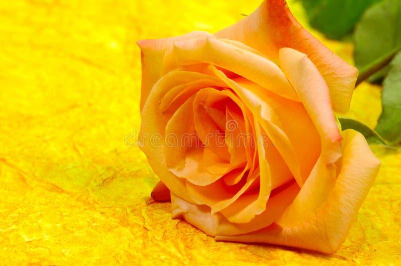 Fundo alaranjado de Rosa foto de stock royalty free